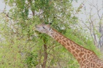 Giraffe_Edit